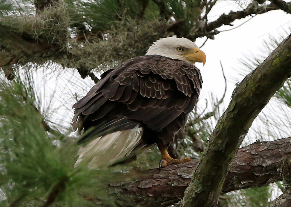 Bald Eagle - Haliaeetus leucocephalus; Bald eagles are around but rarely sighted on the property.
