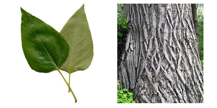 Black Cottonwood Leaf and Bark.jpg