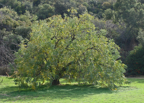 California Black Walnut - Juglans californica var. hindsii. Foxtail Farm has one specimen of this tree that we know of and it is relatively close to the house and right next to a Canyon Live Oak and Black Cottonwood.
