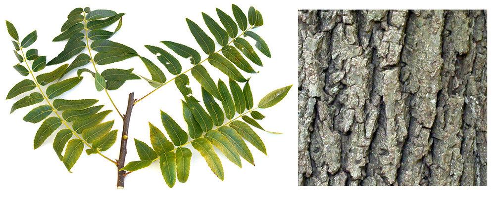 California Black Walnut Leaf and Bark.jpg