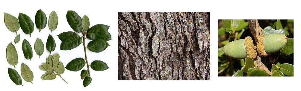 Canyon Live Oak Leaf, Bark and Acorn.jpg