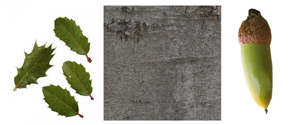 Interior Live Oak Leaf, Bark and Acorn.jpg