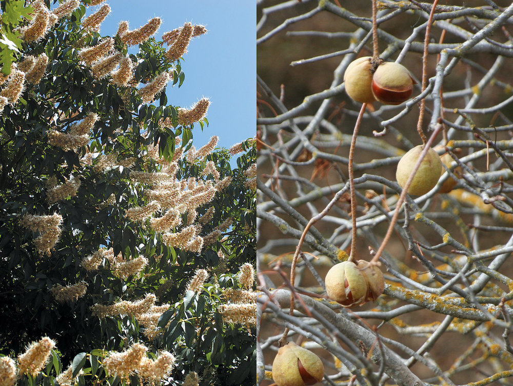 California Buckeye - Aesculus californica has a short lived season with the leaves intact as they wither and drop by mid-summer leaving the branches and seeds. There are several examples on the Foxtail Farm property. Since the tree's flowers are harmful to our honey bees, any specimens that will be found on the trails throughout the property.