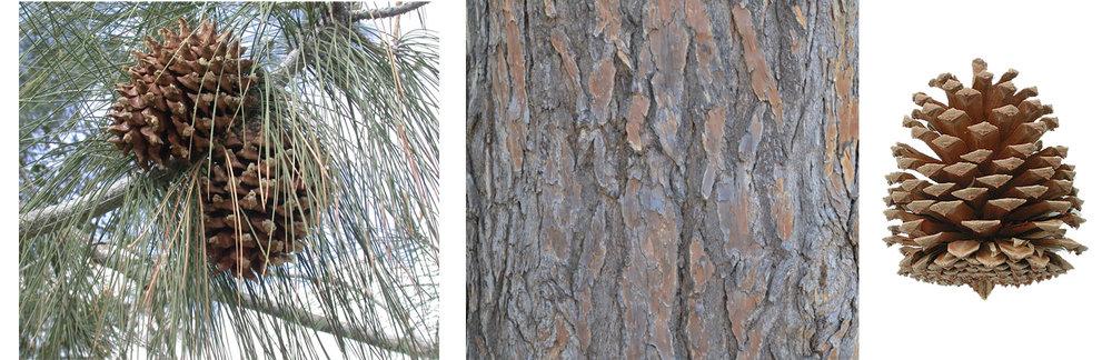 Gray Pine Needles, Bark, and Cone.jpg