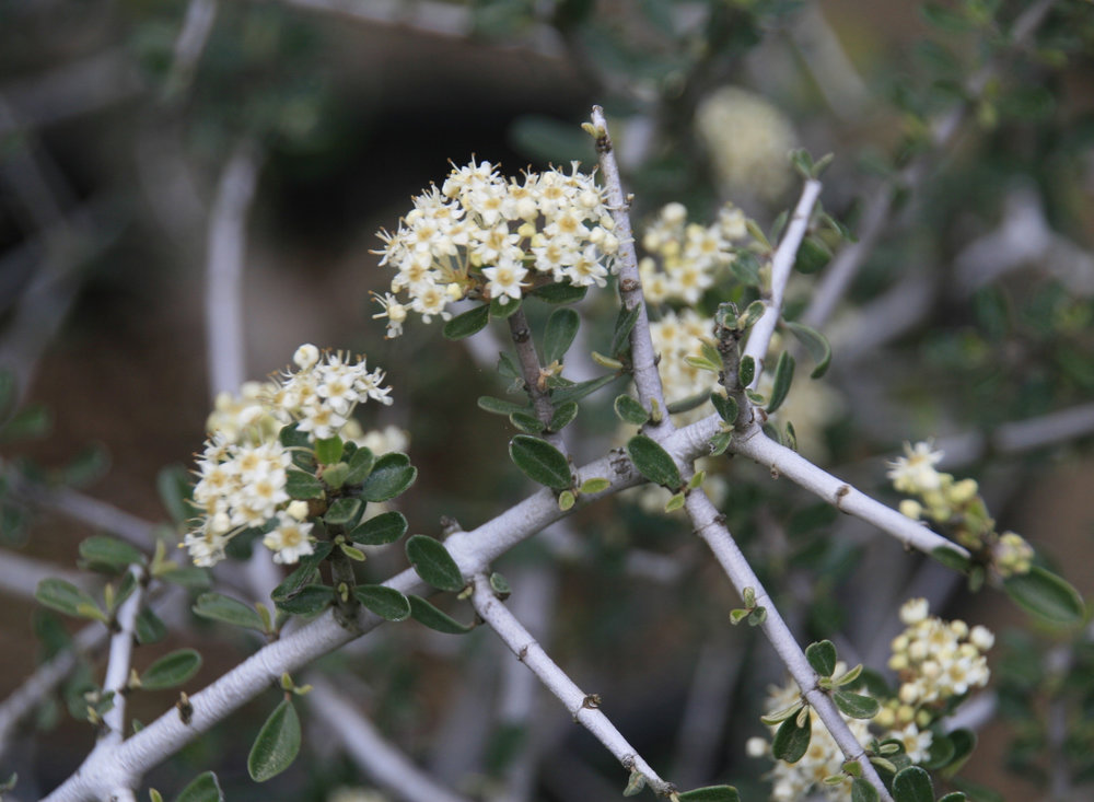 Buckbrush - Ceanothus cuneatus is a spreading evergreen shrub reaching up to 9 feet in height. The bush flowers abundantly in short, thick-stalked racemes bearing rounded bunches of tiny white flowers.