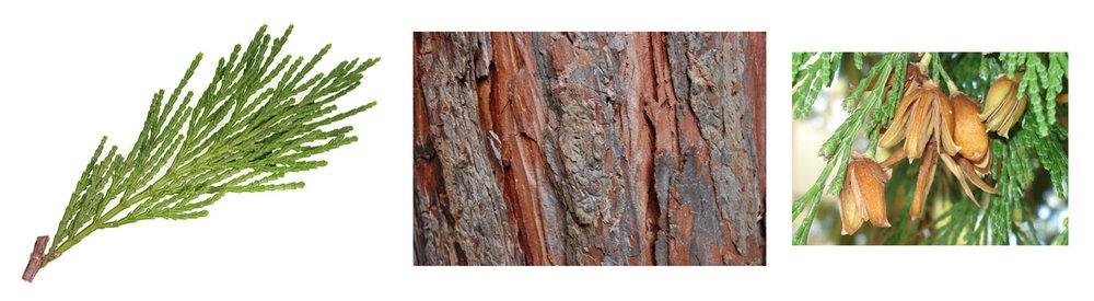 Incense Cedar leaf, bark, cone.jpg