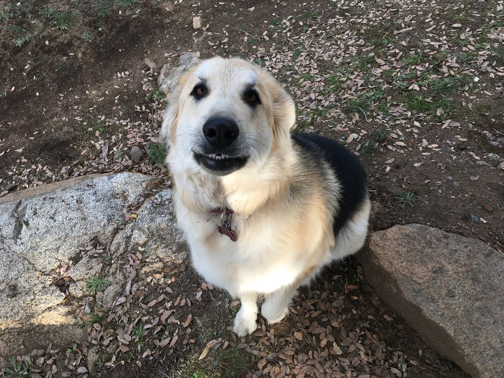 Ursula - Canis lupus familiaris - Half Great Pyrenees and half German Shepherd. Posing so nicely and smiling for the camera. Don't let the smile fool you as she does a great job protecting the chickens and the property. And at nearly 100 lbs she has the muscle to keep us all in line.Ursula, the She-Bear