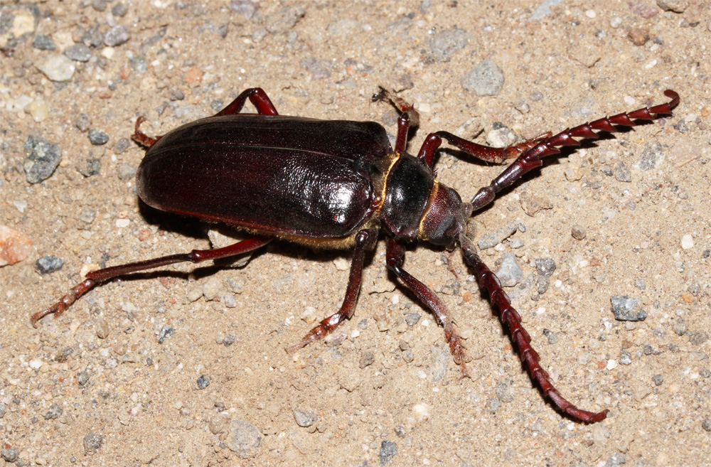 California Prionus - Prionus californicus, commonly known as the California root borer, is a species of insect in the longhorn beetle family (Cerambycidae). It is native to the American west where it is often a pest of orchard and vine crops.