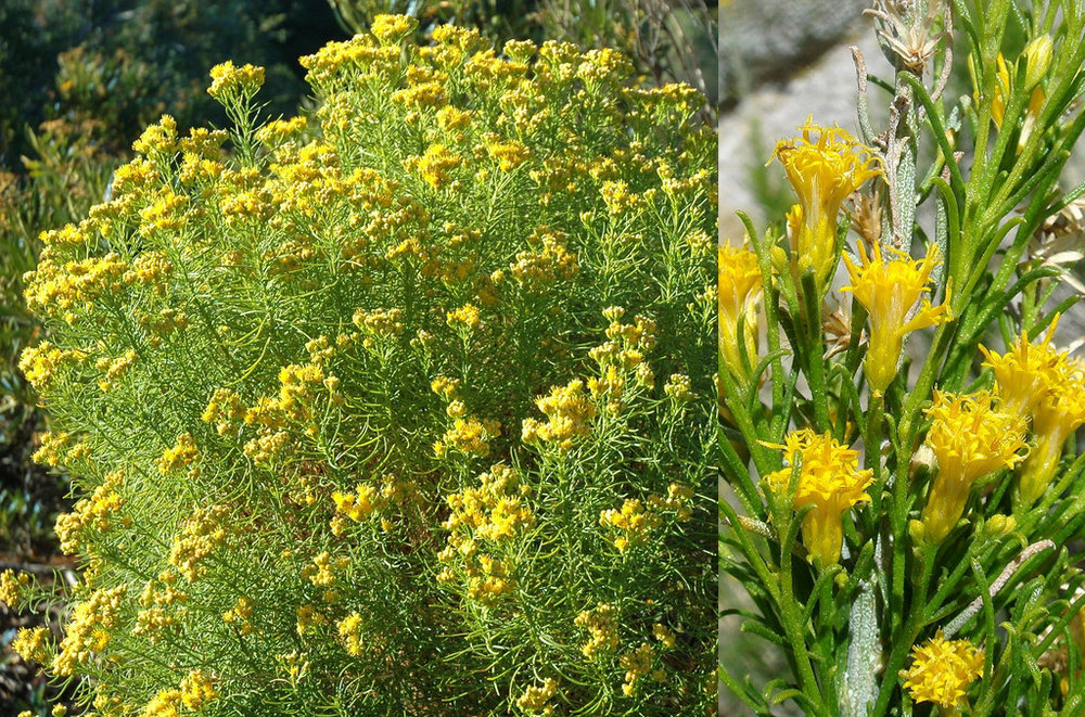 Goldenfleece - Ericameria arborescens is a flowering plant in the daisy family. This resinous, glandular shrub has many erect branches covered in very thin, needle-like leaves. Atop each stem is an inflorescence of many bright golden flowers.