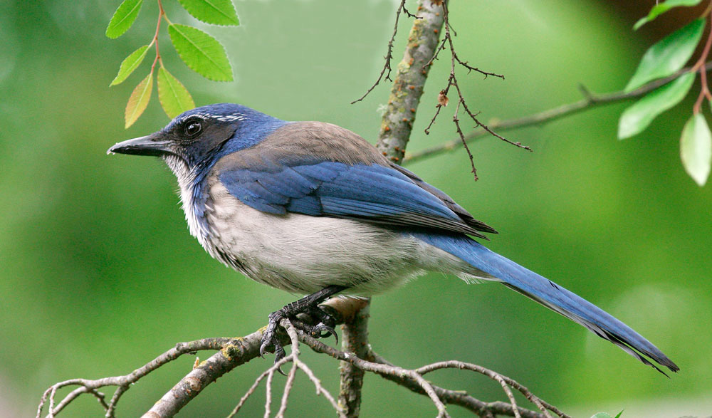 Western Scrub Jay - Aphelocoma californica is also know as the California Scrub Jay. It is a medium sized bird about 11-12 inches in length. The call or