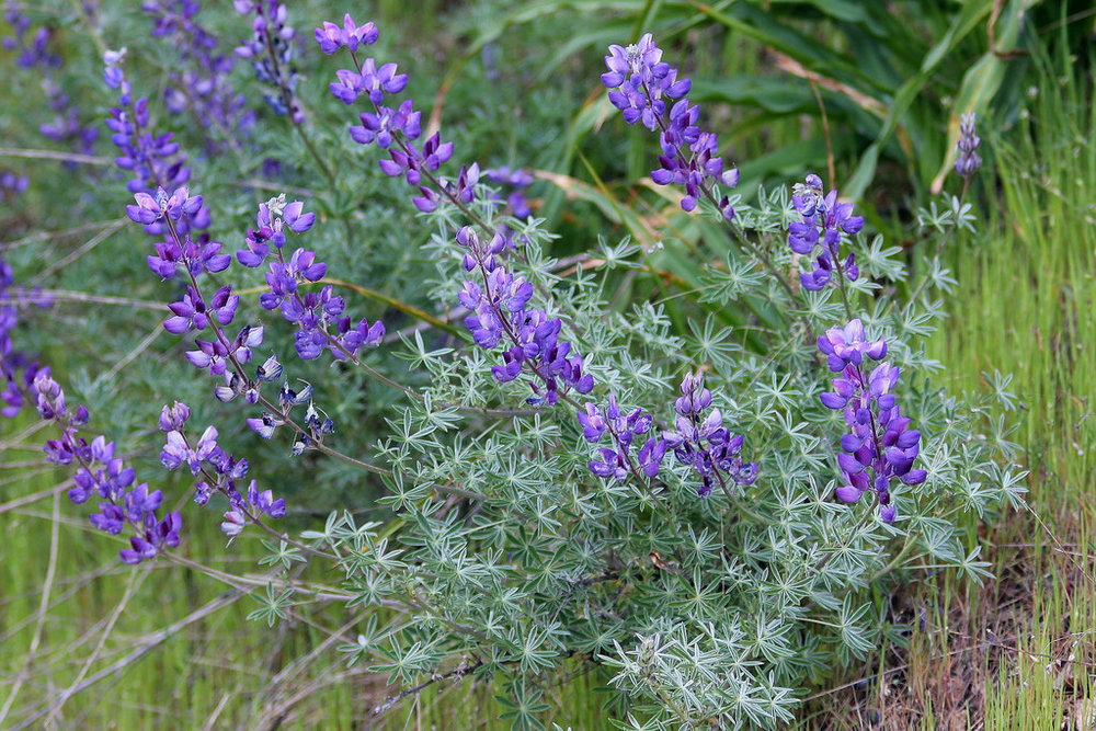 Bush Lupine - Lupinus albifrons is a perennial shrub, taking up about 2 ft of space and reaching 5 ft. It has a light blue to violet flower on 3–12 inch stalks. The leaves are silver with a feathery texture.