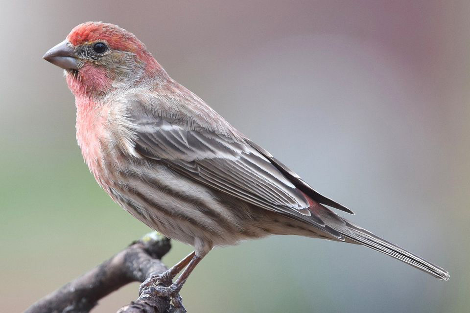 House Finch - Carpodacus mexicanus; We have seen both the male and female feeding on sunflower seeds in the feeders hanging from the Manzanita tree at the front of the house. Image The Spruce