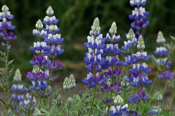 Sky Lupine - Lupinus nanus is also known as Dwarf or Field Lupine and is native to the western United States. It grows on slopes or in open or disturbed areas below 4000 feet. At Foxtail Farm it is found most everywhere and starts to bloom late April continuing through May.