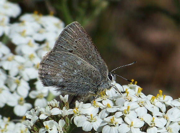 Sagebrush Sooty Hairstreak - Satyrium semiluna, known generally as the sagebrush sooty hairstreak or half-moon hairstreak, is a species of hairstreak in the family of butterflies known as Lycaenidae. Cheryl spotted this near the house in late May 2018.