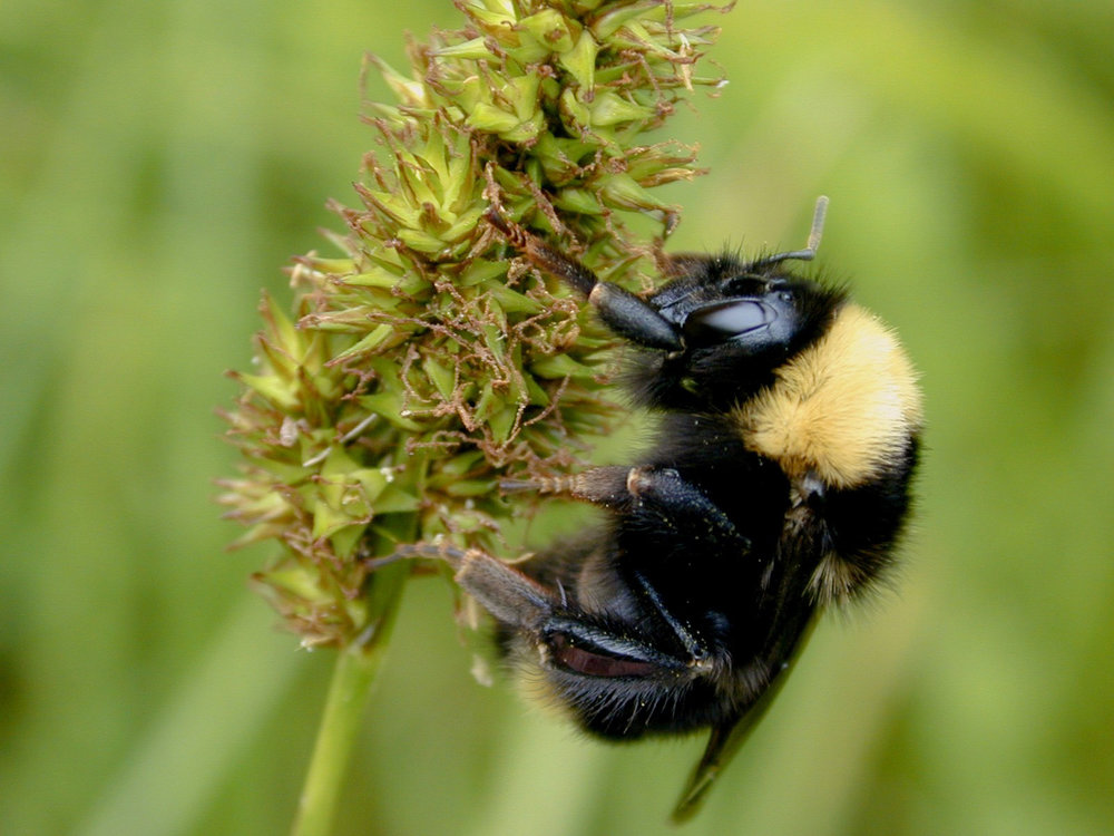 California Bumble Bee - Bombus californicus, the California bumble bee, is a species of bumble bee in the family Apidae.
