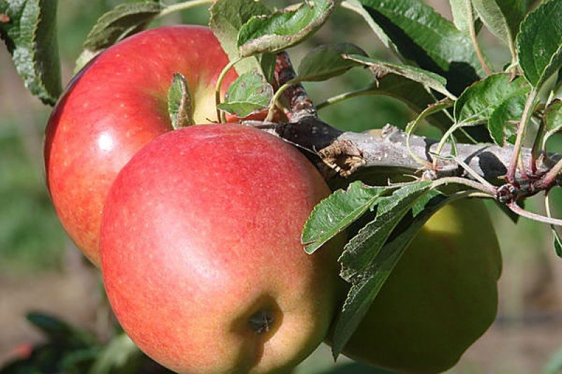 Braeburn Apple - Malus domestica; The 'Braeburn' is a cultivar of apple that is firm to the touch with a red/orange vertical streaky appearance on a yellow/green background. Its color intensity varies with different growing conditions. It was discovered as a chance seedling in 1952 in the Moutere Hills near Motueka, New Zealand. The apple itself is named after Braeburn Orchard near Motueka, where it was first commercially grown. Planted 2017, hugel mound 3, position 1