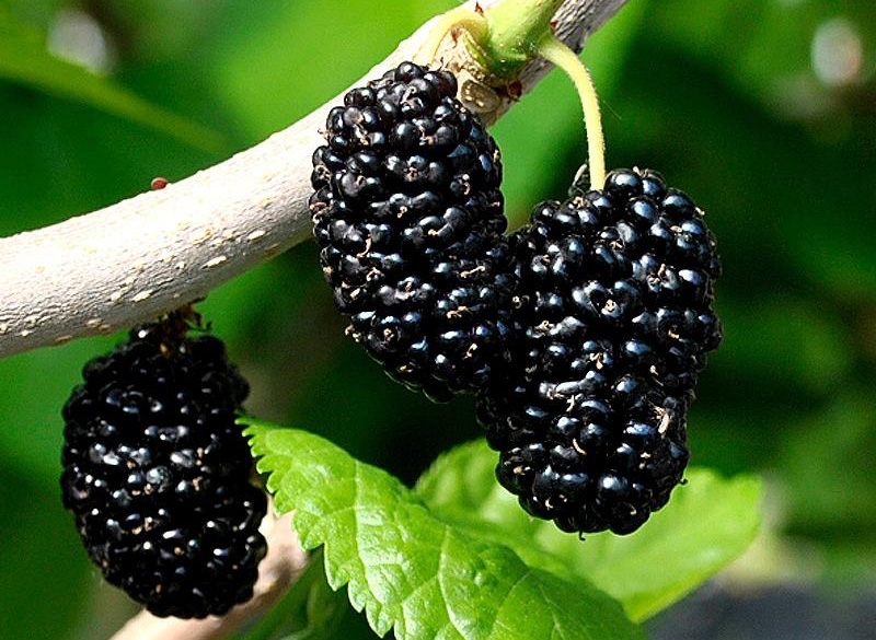 Shangri La Mulberry - Morus alba x rubra; The Shangri La Mulberry originated in Naples, Florida. The fruit resembles a Blackberry and are pest and disease resistant and form an attractive, small tree with dark green, tropical foliage. Planted 2016, hugel mound 2, position 2