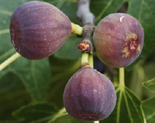 Chicago Hardy Fig - Ficus carica; The Chicago Hardy Fig bears delicious medium-size figs. The tree exhibits drought-tolerance once established. The fruit produced on the older wood will appear in early summer and fruit on new growth will appear in early fall. The ripe fruit has a dark mahogany color. Planted 2016 and transplanted 2017, hugel mound 5, position 1