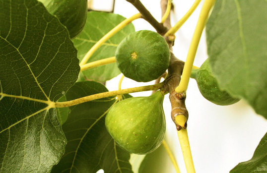 Peter's Honey Fig - Ficus carica; Peter's Honey Fig produces very sweet, shiny, high quality, and greenish yellow fruit when ripe. The fruit tastes syrupy and honey-like. Planted 2017, hugel mound 5, position 2