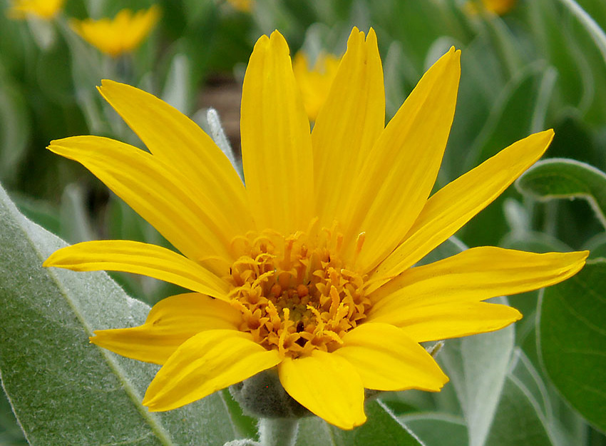 Woolly Mule's Ears - Wyethia mollis is a coarse perennial herb native to the mountains of northern California. We identified several specimens around the house in June 2018.