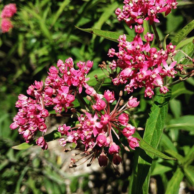 milkweed_blooms.jpg