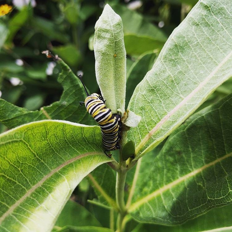 large-monarch-caterpillar.jpg