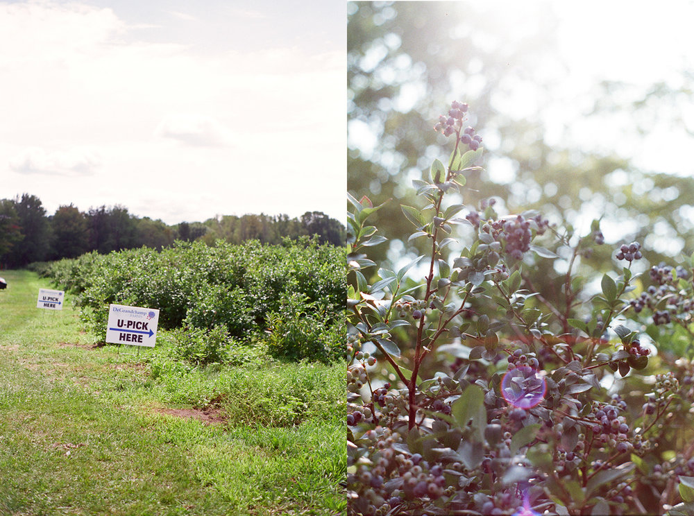 blueberry farms South Haven Michigan