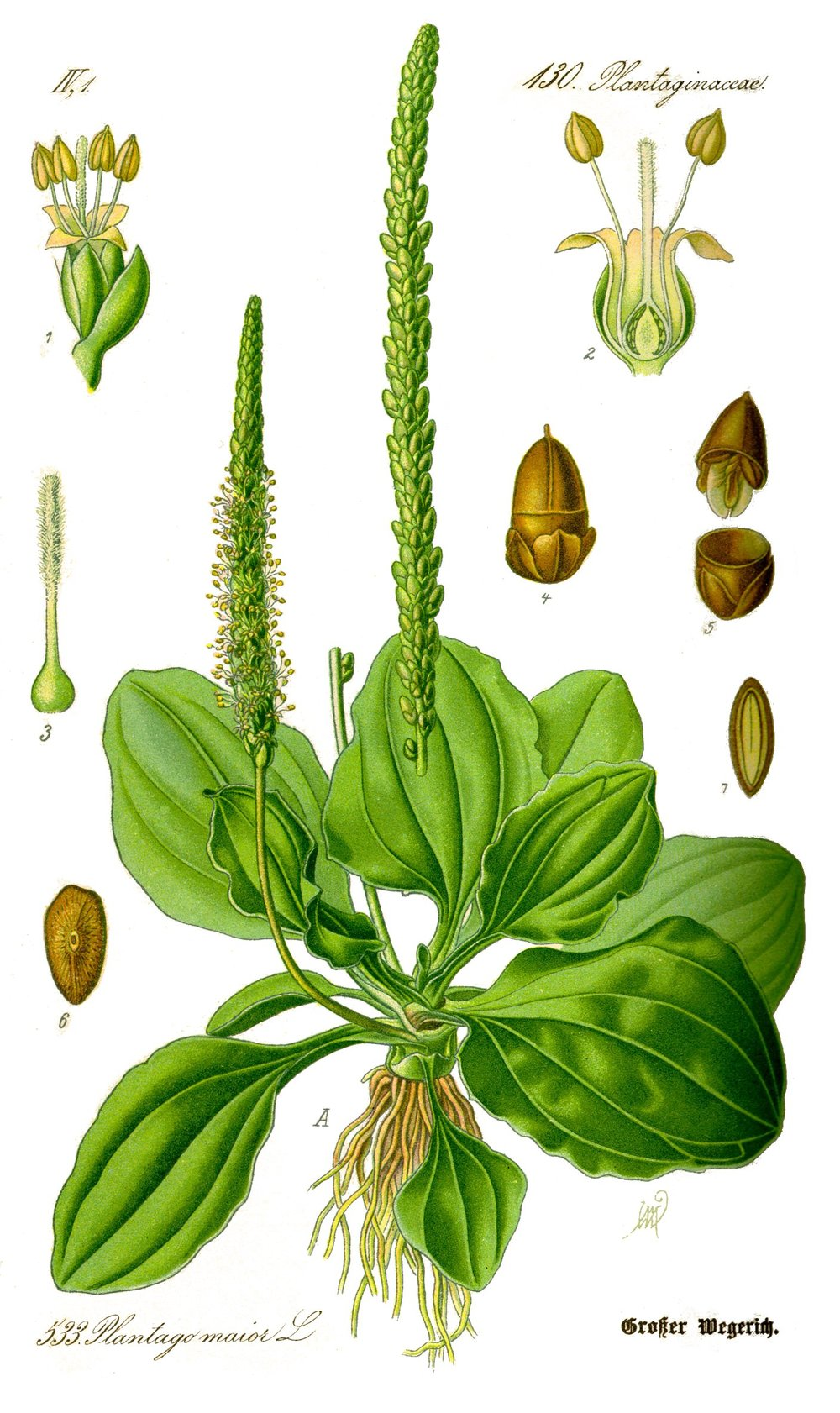 plantain illustration