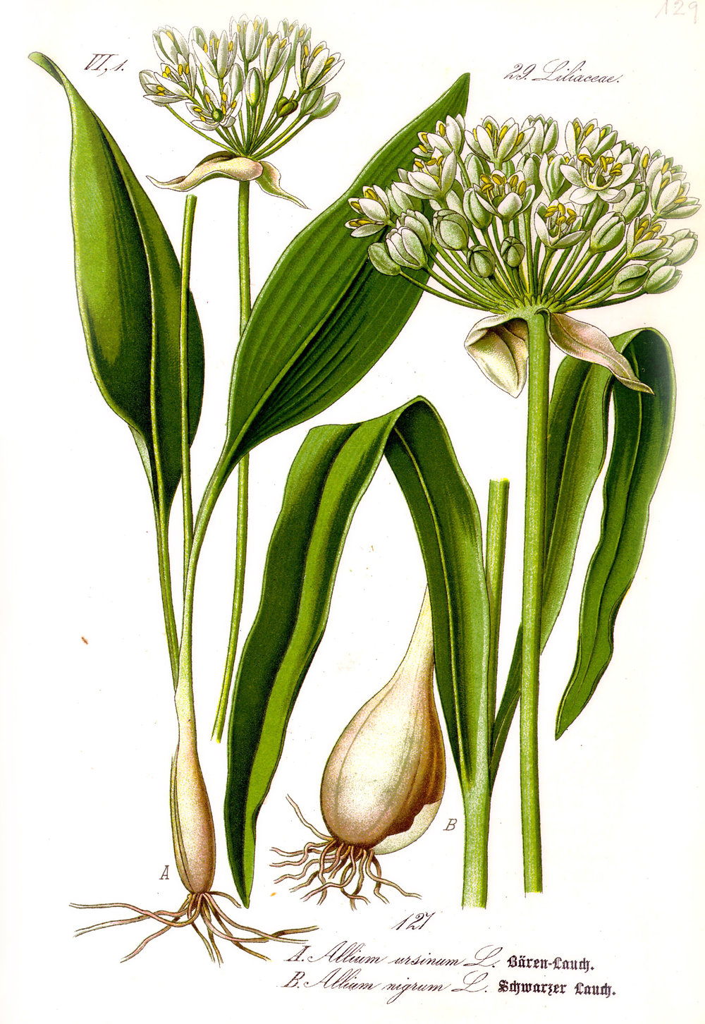 Illustration_Allium_ursinum1.jpg
