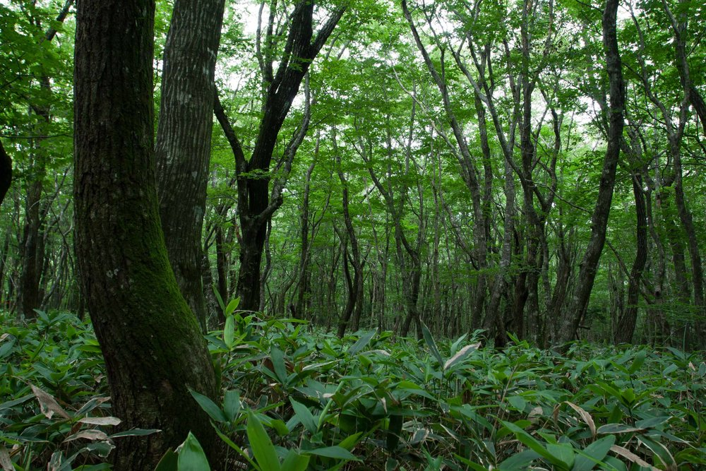 Woodland on Hallasan, Jeju Island, South Korea.