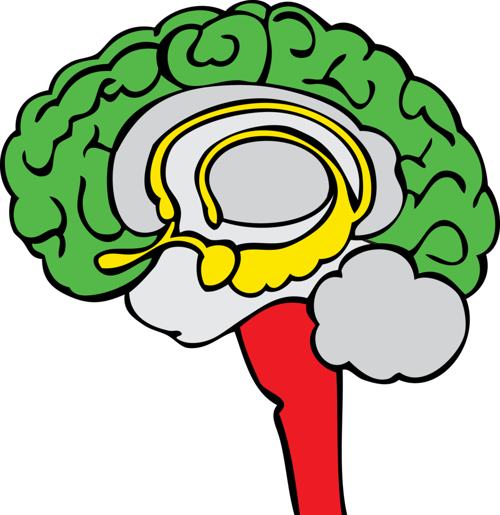 The three basic regions of the brain: the Neocortex  (Green Brain) , the Limbic System  (Yellow Brain) , and the Brain Stem  (Red Brain) .