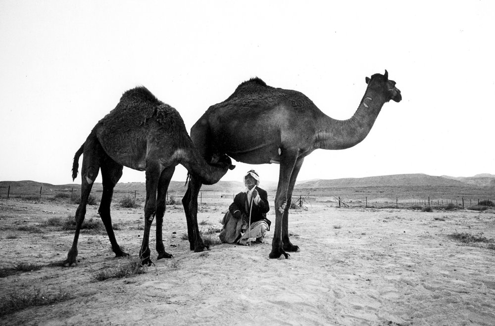 arab under nursing camel.jpg