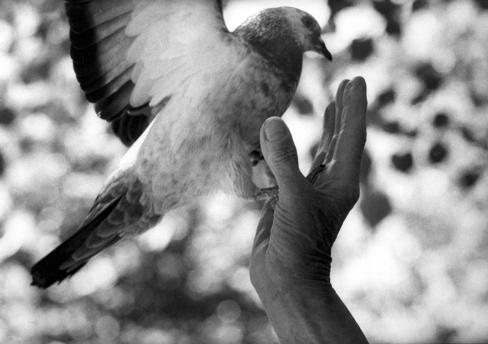 pigeon fly from hand.jpg
