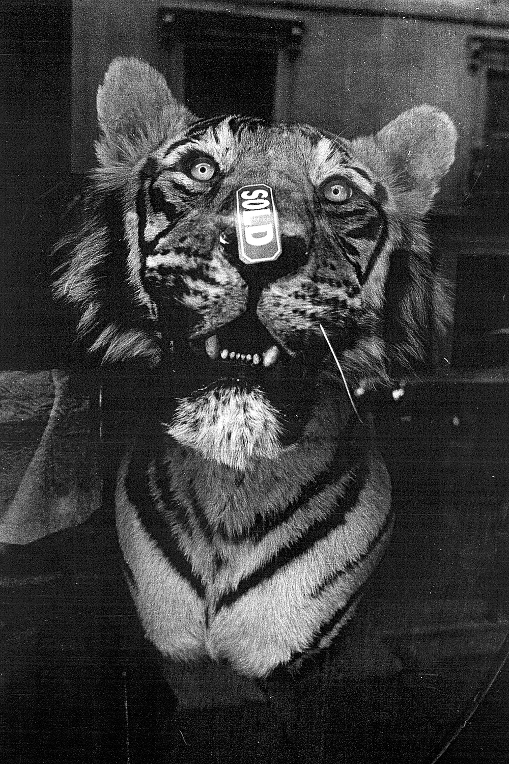 tiger head sold.jpg