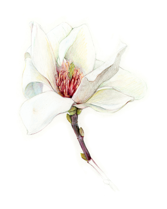 Magnolia, colored pencil
