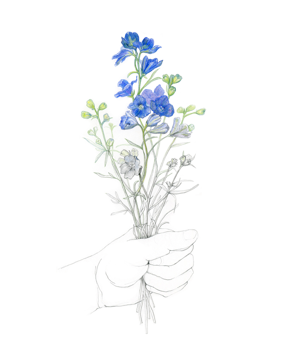 Delphinium bouquet, colored pencil & graphite