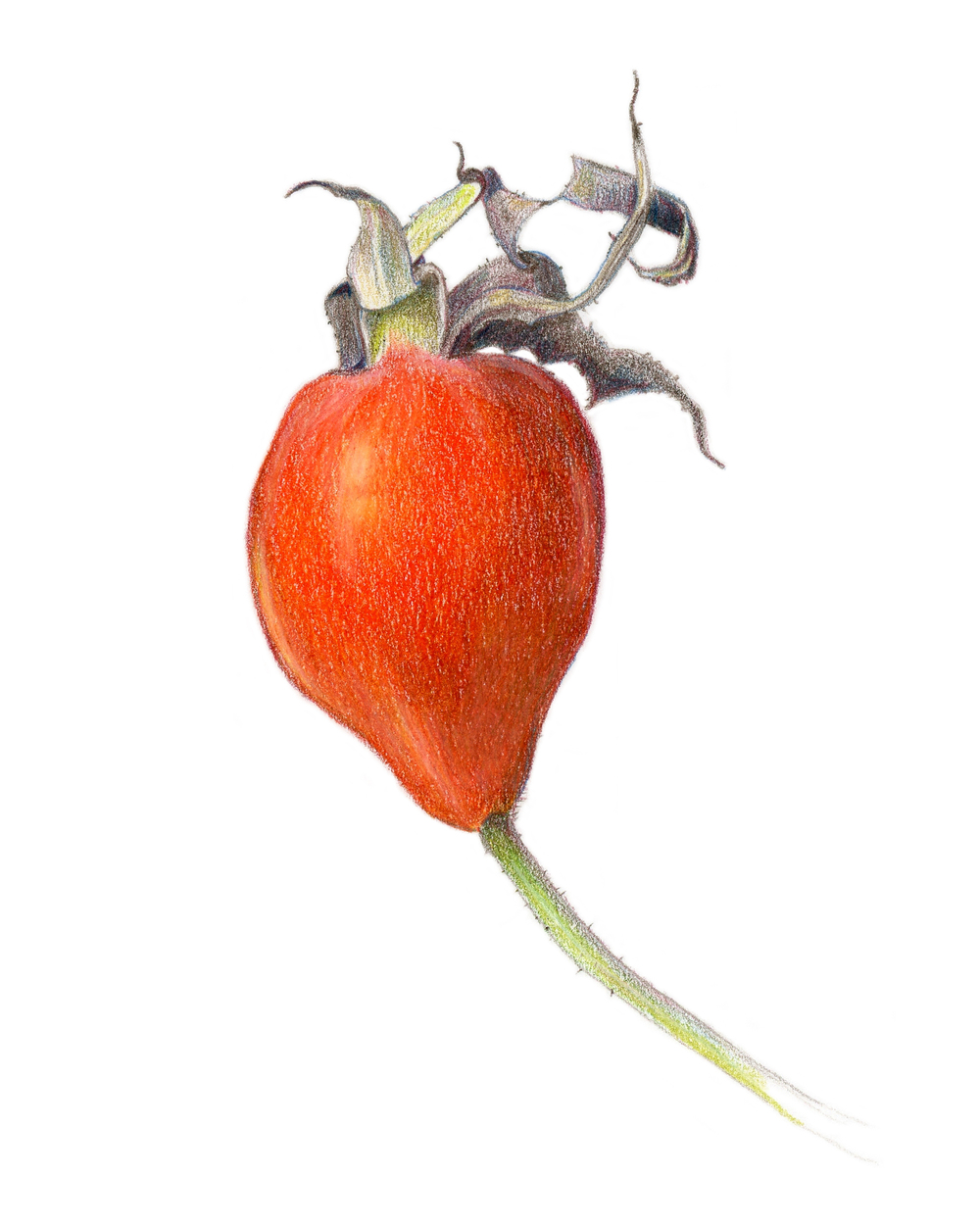 Rose hip, colored pencil