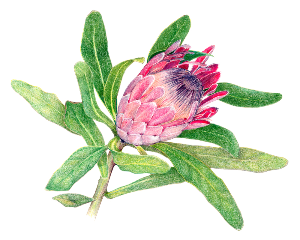 "Protea ""Pink Ice"", colored pencil"