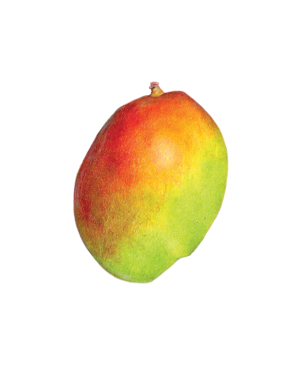 Mango, colored pencil