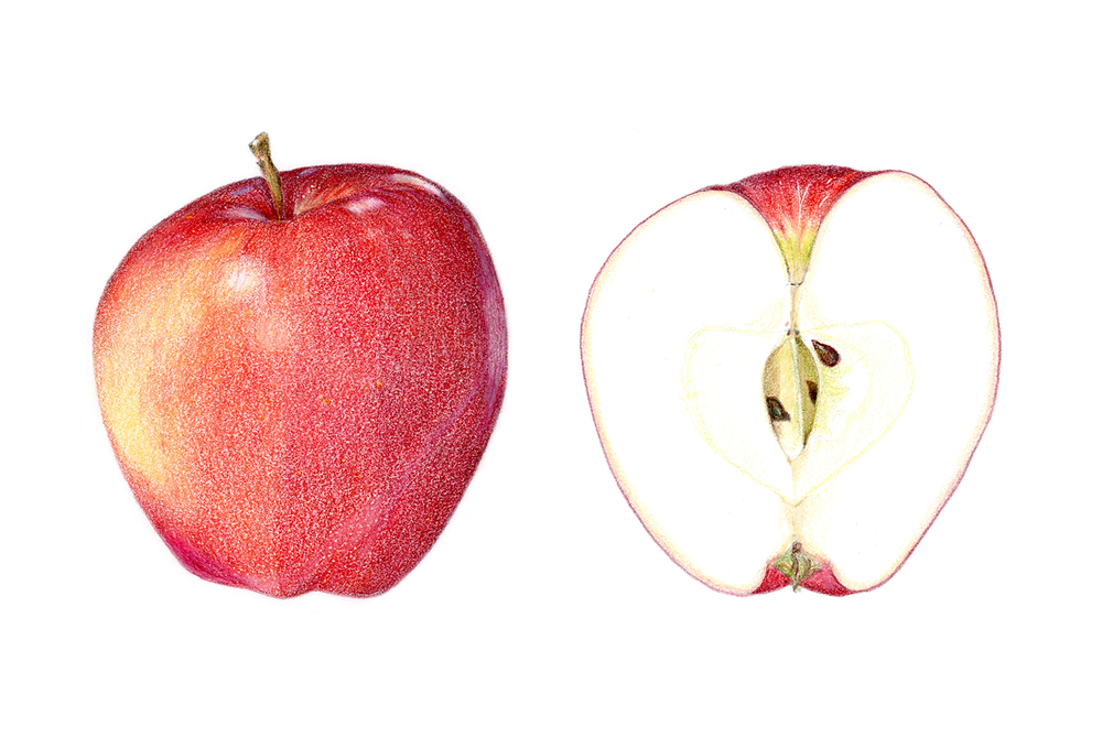 Gala apple, colored pencil
