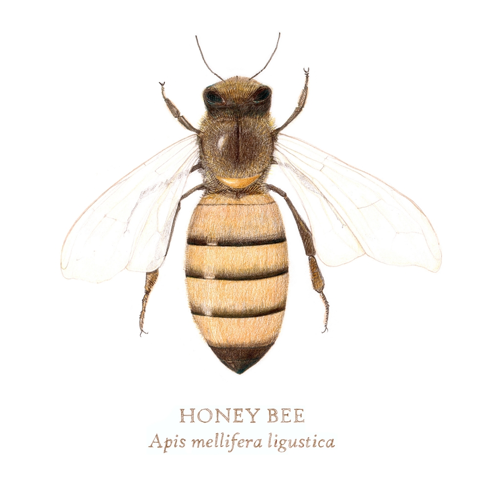 Bee_8x10.jpg