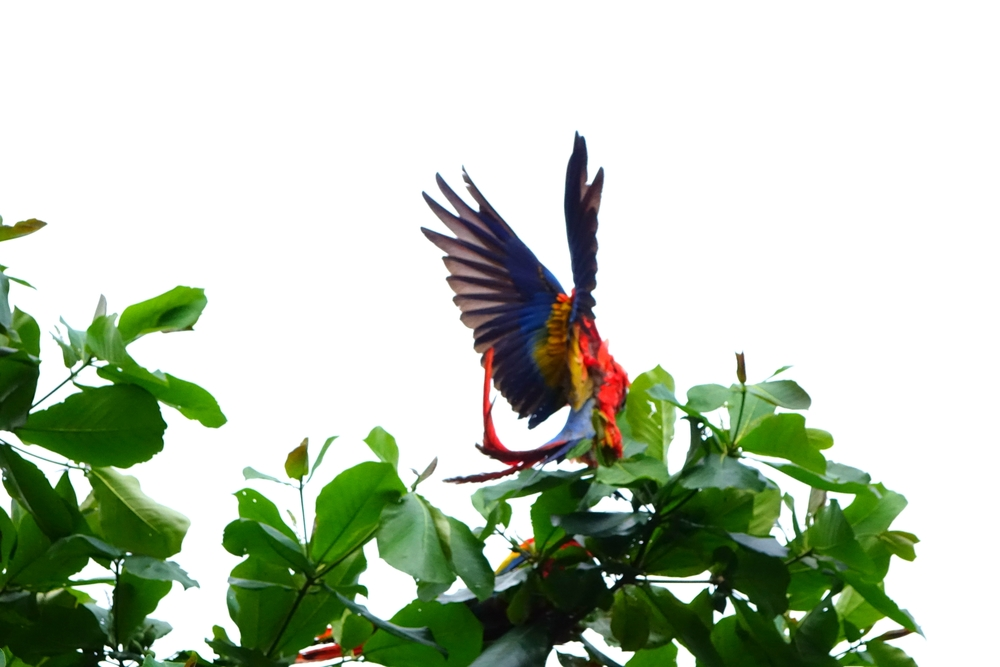 The endangered Scarlet Macaw.