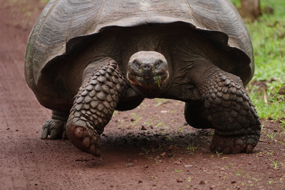Giant Tortoises live in their natural habitats in the highlands of The Galapagos - These Giant Tortoises live on average 150 years.