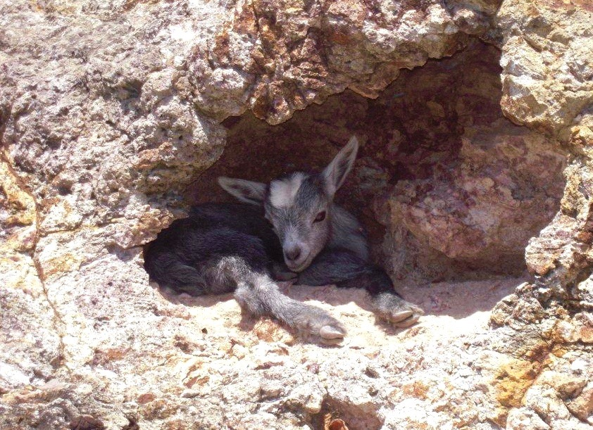 """Here is a shot I snapped of a very young """"Cabri"""" about five years ago, snuggled up in a shallow cave in the hills between Saline & Gouverneur Beach."""