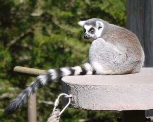 striped tail lemur on ledge copy