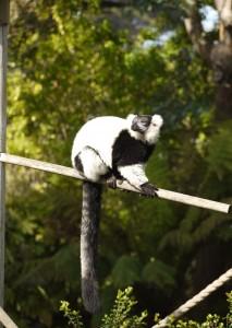 white lemur in sun copy