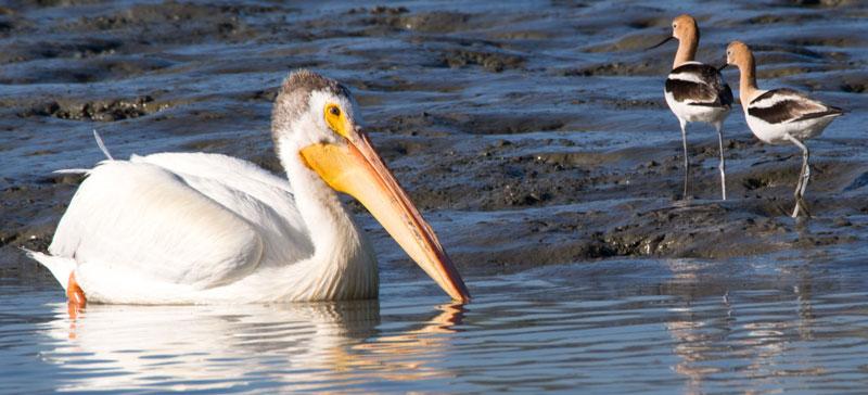 D5_Pelican