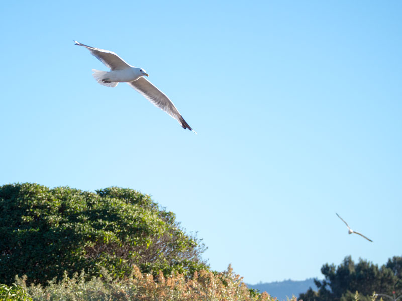 D17_SeagullFlight