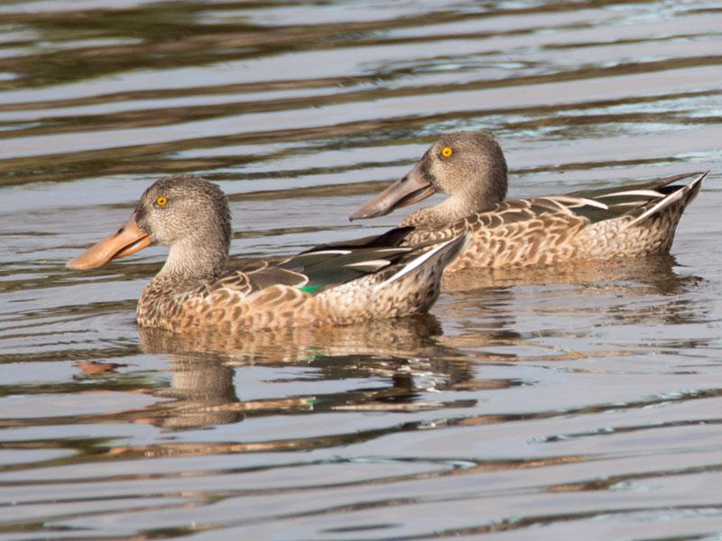 D99_Ducks
