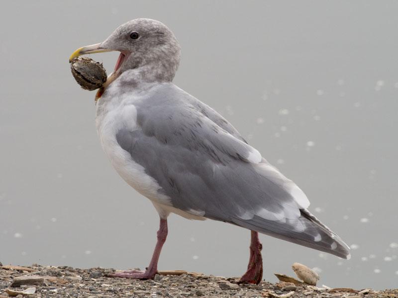 D115_SeagullTreat